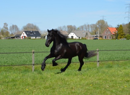 Lukas - 5 year old Friesian owned by Irum Walker - play time !